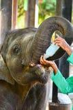 Föräldralöst behandla som ett barn elefanten som den är matning med, mjölkar Arkivfoton
