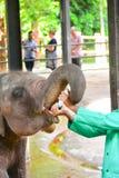 Föräldralöst behandla som ett barn elefanten som den är matning med, mjölkar Royaltyfri Foto