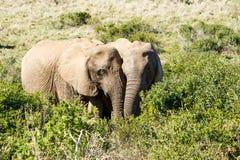 Förälskad man och kvinnlig - afrikanBush elefant Arkivfoton