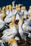 Förälskad nordlig havssula Fotografering för Bildbyråer