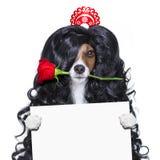 Förälskad spansk lolahund för valentin arkivfoto