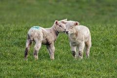 Förälskade lamm Arkivbild