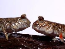 Förälskade Mudskippers Royaltyfria Bilder