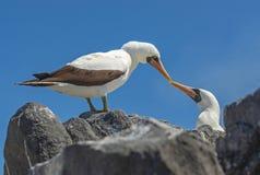 Förälskade Nazca dumskallar, Galapagos öar, Ecuador arkivfoton