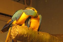 Förälskade papegojor i parkera Royaltyfri Foto