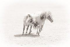 Förälskade ponnyer Royaltyfri Fotografi