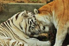 Förälskade vita och röda tigrar arkivbilder