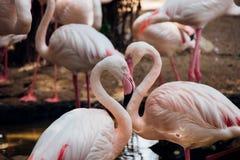 Förälskelse av flamingo Arkivbilder