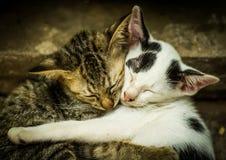 Förälskelse av katter Fotografering för Bildbyråer