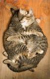 Förälskelse av katter Arkivbilder