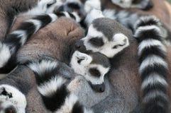 Förälskelse av Lemurs Arkivbild