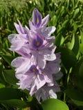 Förälskelse av lilor Royaltyfri Bild