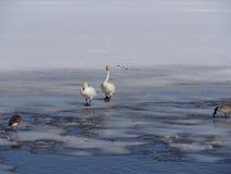 Förälskelse av svanar royaltyfri fotografi