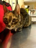 Förälskelse för dag för kattkattunge sista Fotografering för Bildbyråer