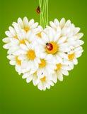 förälskelse för hjärta för camomilekort blom- Arkivfoton