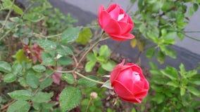 Förälskelse för röda rosor Arkivfoto