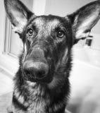 Förälskelse för tysk herde Fotografering för Bildbyråer