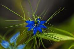 Förälskelse-i-en-mist blomma fotografering för bildbyråer