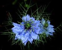 Förälskelse-i-en-mist & x28; Nigella damascena& x29; mot mörk bakgrund Arkivfoton