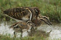 Förälskelse med barnaskaran, framtiden av fågelungar, härlig familj i den Wilpttu nationalparken Målad större - beckasin arkivfoton