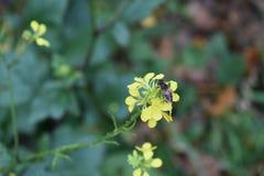 Förälskelse mellan biet och en blomma royaltyfri foto