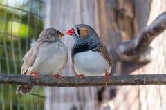 Förälskelse mellan 2 fåglar arkivbild