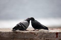 Förälskelse och duvor Arkivfoto