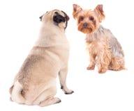 Förälskelsebegrepp - två sittande hundkapplöpning som isoleras på vit Arkivbilder