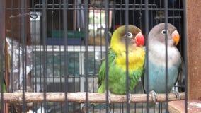 Förälskelsefågel Arkivbilder