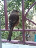Förälskelsefågel Fotografering för Bildbyråer