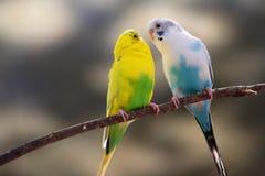 Förälskelsefågelkanariefåglar Arkivfoton