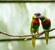 Förälskelsefåglar Royaltyfri Bild
