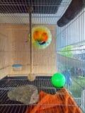 Förälskelsefåglar i buren royaltyfri fotografi