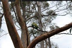 Förälskelsefåglar och en tree Arkivbild