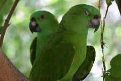 Förälskelsefåglar och en tree Royaltyfri Foto