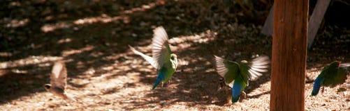 Förälskelsefåglar som tar flyg Arkivfoto