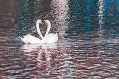 Förälskelsehjärta för två svanar arkivfoton