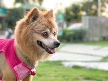 Förälskelsehund royaltyfria foton