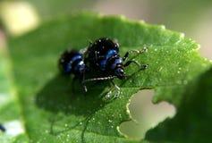 Förälskelselekar är blåa skalbaggar Arkivfoton