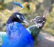 förälskelsepåfåglar Arkivbilder