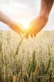 Förälskelsepar som tar händer och går på guld- vetefält över härlig solnedgång arkivbilder