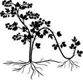 Förökning, genom att varva Intrig för reproduktion för Blackberry växt vegetativ vektor illustrationer