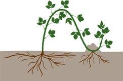 Förökning, genom att varva Intrig för reproduktion för Blackberry växt vegetativ stock illustrationer