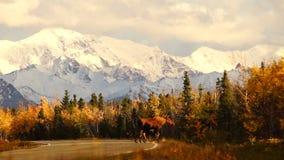 För älgko för löst djur för Alaska för väg för kalv korsning berg område stock video