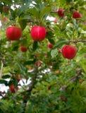 För äpplefruktträdgård för vertikal sammansättning industriella fruktträd Royaltyfri Bild