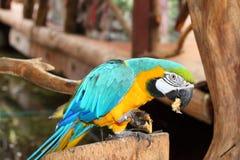 för ätaguld för banan blå macaw arkivfoton