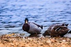 För ögonnemo för fågel djurt flyg för sjö för and Fotografering för Bildbyråer