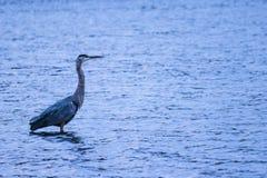 För ögonnemo för fågel djurt flyg för sjö för and Royaltyfri Foto