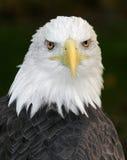 för örnhaliaeetus för american skallig leucocephalus Royaltyfri Fotografi