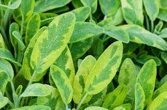 För örtkrydda för guld- blad vis closeup för lamiaceae för salvia för officinalis för icterina för växt för te Royaltyfria Foton